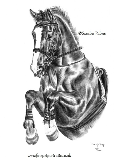 Irish Sports horse portrait in charcoal