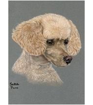 Poodle dog portrait