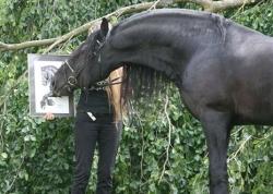 Friesian stallion Dirk van de Jonker checking out his charcoal portrait.