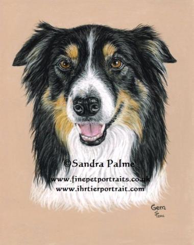 Border Collie dog pastel portrait