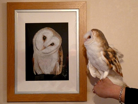 Barn owl Oliver having a close look at his portrait.