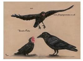 Carrion Crow pastel portrait