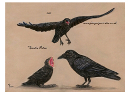 Carrion Crows pastel painting