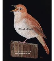 Nightingale pastel portrait