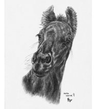 Friesian Foal charcoal portrait
