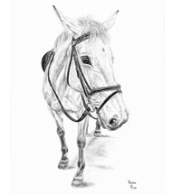 Grey Mare Charcoal Drawing