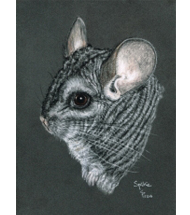 Chinchilla pastel portrait
