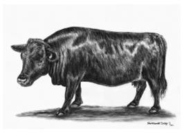 Dexter Cattle pastel portrait
