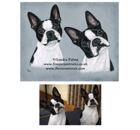 Boston Terriers Portrait with Reference Photo