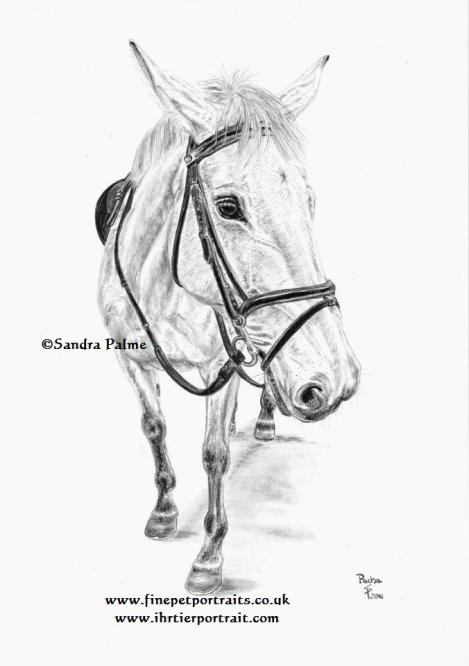 eventing horse drawing charcoal