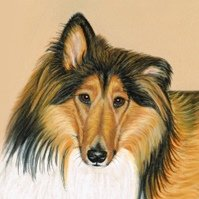 Rough Collie - Casey
