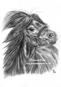 Shetland Pony charcoal portrait