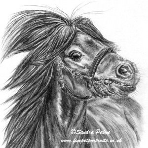 Miniature Shetland Stallion charcoal drawing