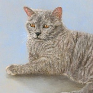 British Shorthair drawing