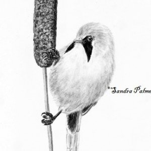 Bearded Reedling bird drawing charcoal
