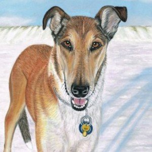 Smooth Collie portrait