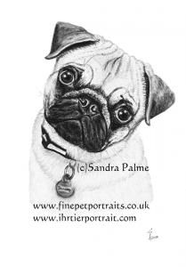 Pug Bentley charcoal dog drawing