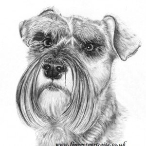Miniature Schnauzer charcoal portrait