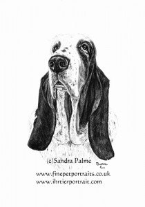 Basset Hound Charcoal drawing