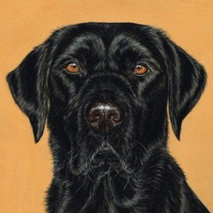 Black Lab drawing