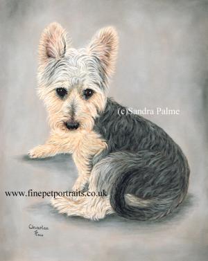 Australian Silky Terrier dog portrait