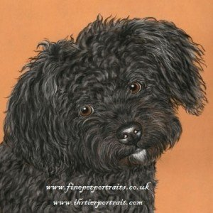 Bolonka Zwetna puppy drawing