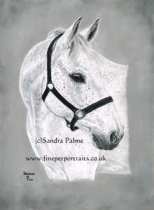 Grey Horse Dexter Portrait