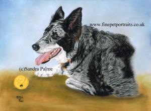 Australian Shepherd Border Collie x dog portrait