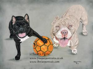 French Bulldog Pocket Bully dog portrait