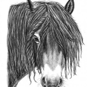 Exmoor pony stallion drawing charcoal