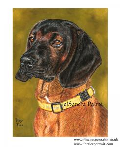 Bavarian Mountain Hound dog portrait