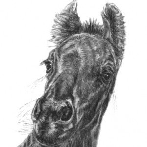Friesian horse foal charcoal sketch