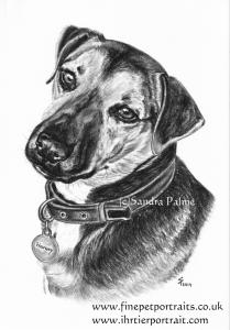 Dog Harvey portrait charcoal drawing