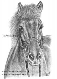 Icelandic horse charcoal drawing