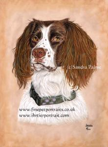 Springer Spaniel Jessie dog portrait