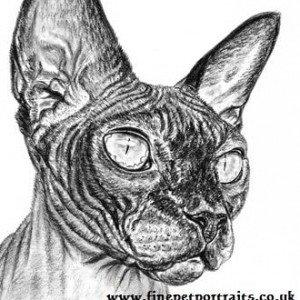 Sphynx cat charcoal portrait