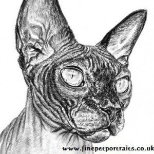 Sphynx Cat charcoal drawing