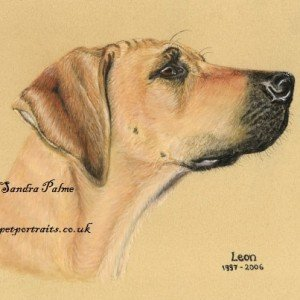 Rhodesian Ridgeback drawing