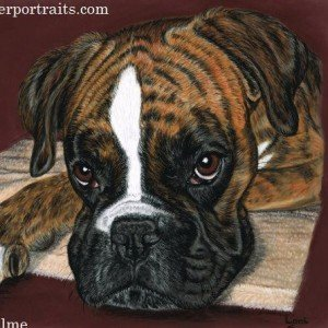 Boxer dog portrait in pastels