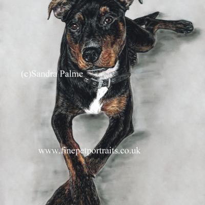 Rottweiler Mastiff dog portrait