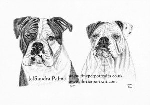 Olde English Bulldogs charcoal dog portrait