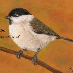 Marsh Tit  drawing pastels