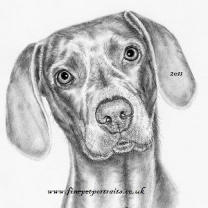 Weimaraner charcoal pet portrait