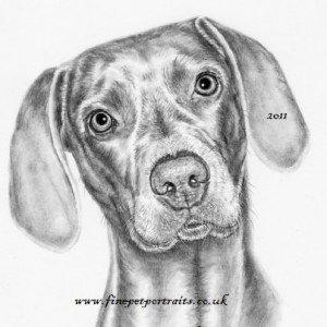 Weimaraner charcoal pet portrait