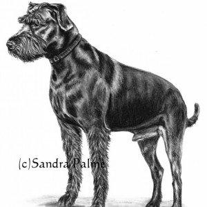 Schnauzer dog charcoal drawing