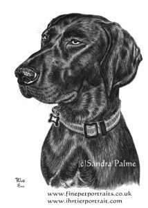 Short-haired Pointer dog charcoal drawing