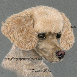 Apricot Poodle drawing