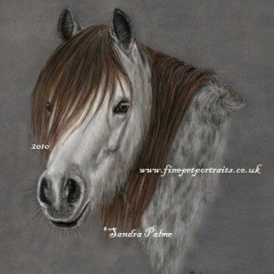 Welsh Mountain Pony portrait