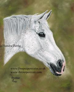 Grey gelding Shadeer pastel painting