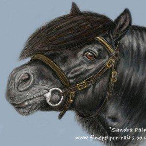 Shetland Pony Stallion Champler's Ebony